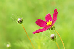 Cosmos. A red cosmos flower and flower buds Stock Images