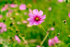 cosmos Photos stock