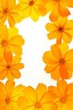 Cosmos amarelo imagem de stock royalty free