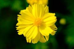 Cosmos amarelo Imagens de Stock Royalty Free