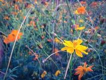 Cosmos amarelo Imagem de Stock