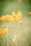 Cosmos amarillo Foto de archivo libre de regalías