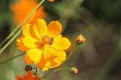 Cosmos amarillo Imagen de archivo libre de regalías