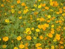 Cosmos amarillo Imagenes de archivo