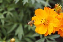 Cosmos amarillo (abeja del vuelo) Fotografía de archivo