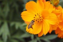 Cosmos amarillo (abeja del vuelo) Foto de archivo libre de regalías
