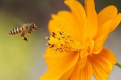 Cosmos amarillo (abeja del vuelo) Foto de archivo