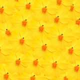 Cosmos amarillo con el fondo del descenso de rocío Imagen de archivo