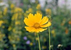 Cosmos amarillo del azufre en fondo borroso de flores y de la hierba amarillas Fotografía de archivo libre de regalías