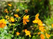 Cosmos amarillo del jardín Fotografía de archivo libre de regalías