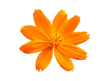 Cosmos And Daisy Stock Photography