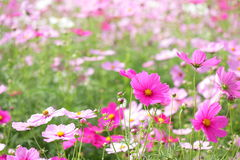 Free Cosmos At Showa Kinen Park Royalty Free Stock Images - 11271059