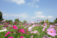 Free Cosmos At Showa Kinen Park Stock Photos - 11271543