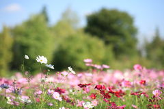 Free Cosmos At Showa Memorial Park Stock Photos - 16572383