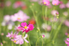 Free Cosmos At Showa Memorial Park Royalty Free Stock Photos - 16572568