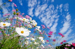 Cosmos and autumn sky Royalty Free Stock Photography
