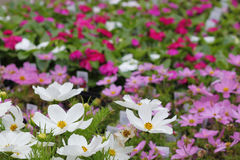 Cosmos. Beautiful array of colorful cosmos at the nursery Stock Images