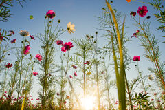 Cosmos. Beautiful cosmos field with sunbeam Royalty Free Stock Images