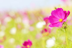Beautiful Cosmos Flower  Stock Images