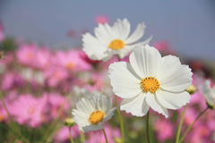 Cosmos. Beautiful Cosmos flowers In outdoor garden royalty free stock photography