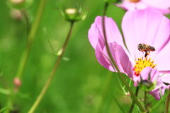 Cosmos. Beautiful pink flower Royalty Free Stock Photos