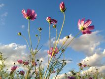 Cosmos from below. Cosmos look more beautiful from below stock images