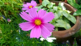 Cosmos. Is a biennial plant species have small flowers. The petals are yellow Approximately 80-85 cm tall propagated by seeds. We can see in the  once Royalty Free Stock Image