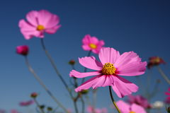 Cosmos bipinnatus Stock Photo