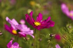 Cosmos bipinnatus Royalty Free Stock Images