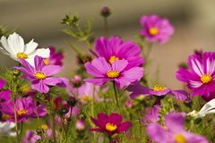 Cosmos bipinnatus Royalty Free Stock Photos