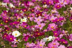 Cosmos bipinnatus Royalty Free Stock Photos