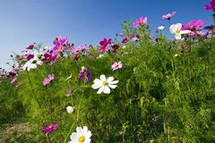 Cosmos bipinnatus Stock Photos