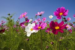 Cosmos bipinnatus Royalty Free Stock Photography