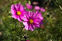 Cosmos bipinnatus. Beautiful pink flowers in the garden / Cosmos bipinnatus Stock Photos