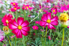 Cosmos Bipinnatus  with blurred background with blurred backgrou Royalty Free Stock Image