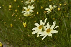 Cosmos. Bipinnatus Cav. - beautiful meadow with subtle flowers Royalty Free Stock Photography