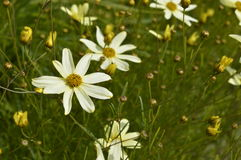 Cosmos. Bipinnatus Cav. - beautiful meadow with subtle flowers Royalty Free Stock Photo