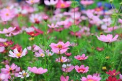Cosmos flower Cosmos Bipinnatus with blurred back ground. A Cosmos bipinnatus cloroful flowers garden in spring royalty free stock image