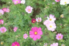 Cosmos flower Cosmos Bipinnatus with blurred back ground. A Cosmos bipinnatus cloroful flowers garden in spring stock images