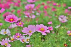 Cosmos flower Cosmos Bipinnatus with blurred back ground. A Cosmos bipinnatus cloroful flowers garden in spring royalty free stock images