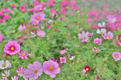 Cosmos flower Cosmos Bipinnatus with blurred back ground. A Cosmos bipinnatus cloroful flowers garden in spring stock photos