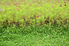 Cosmos bipinnatus  and  clover flowers  blowing Royalty Free Stock Photo