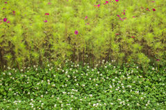 Cosmos bipinnatus  and  clover flowers  blowing Stock Photography
