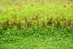 Cosmos bipinnatus  and  clover flowers  blowing Stock Images