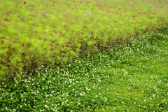 Cosmos bipinnatus  and  clover flowers  blowing Stock Photo