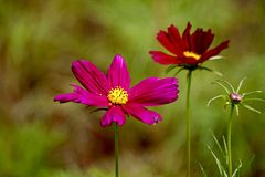 Cosmos bipinnatus colorful flowers Stock Photography