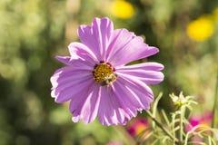 Cosmos bipinnatus, (Cosmos bipinnata), Garden Cosmos, Mexican Aster Royalty Free Stock Photos