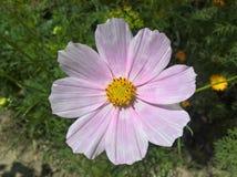 Cosmos Bipinnatus de cosmos de jardin Photos libres de droits