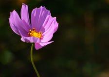 Cosmos Bipinnatus de la flor del cosmos con el fondo borroso imagen de archivo libre de regalías