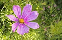 Cosmos bipinnatus del fiore all'aperto con luce solare immagine stock